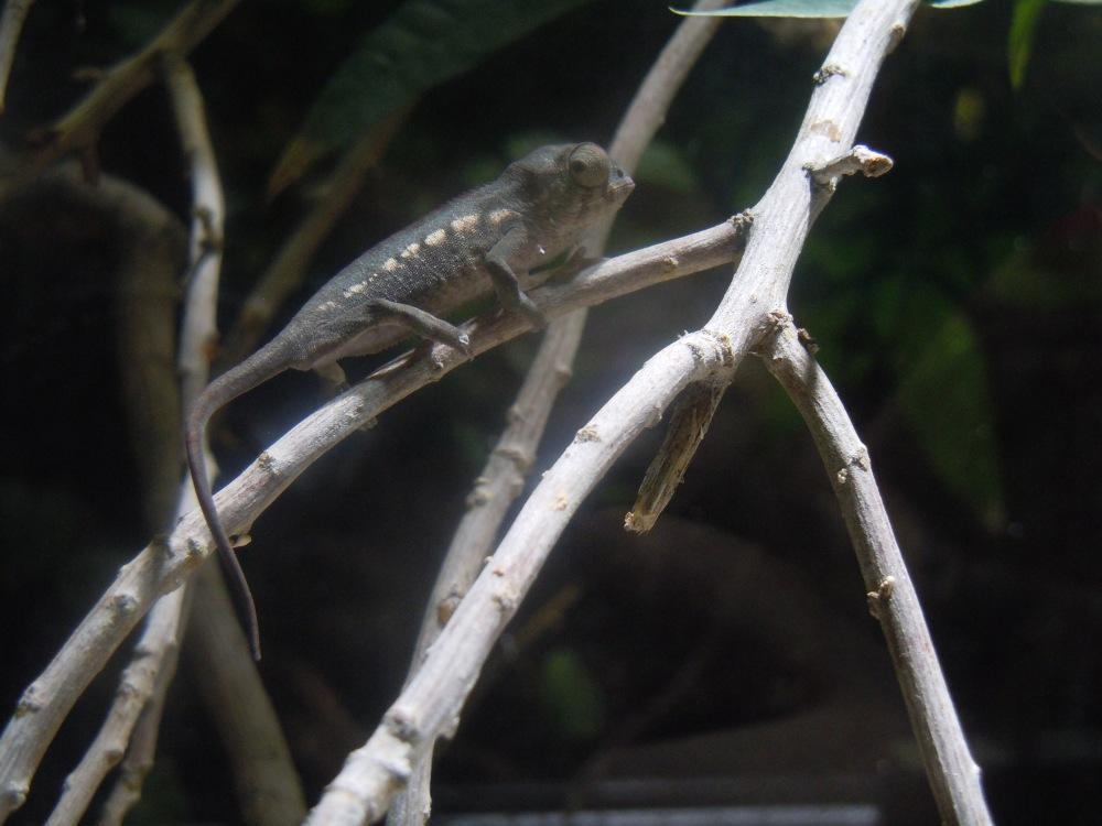 Chamäleons en miniature (3/4)